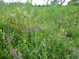 Wildflowers on New Fen