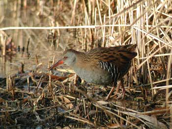 Water Rail © Graham Catley